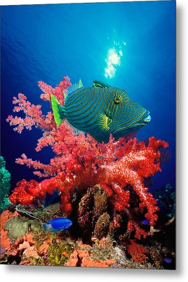 Orange-lined Triggerfish Balistapus Metal Print by Panoramic Images