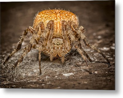 Orange Marbled Orb Weaver Metal Print by Adam Romanowicz