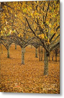 Orange Orchard Metal Print by Tim Hester