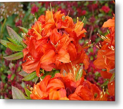 Orange Rhododendron Flowers Art Prints Metal Print by Baslee Troutman