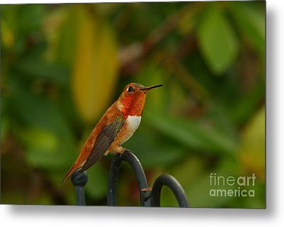 Orange Throated Hummingbird Metal Print