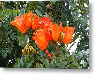 Metal Print featuring the photograph Orange Tree Blossoms by Lew Davis