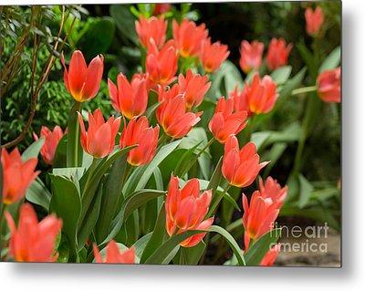 Orange Tulips In Spring Metal Print