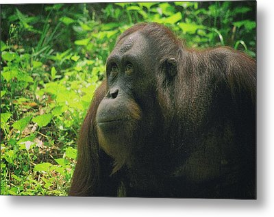 Metal Print featuring the photograph Orangutan by Dennis Baswell