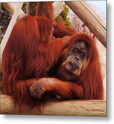 Orangutans Grooming Metal Print by DiDi Higginbotham