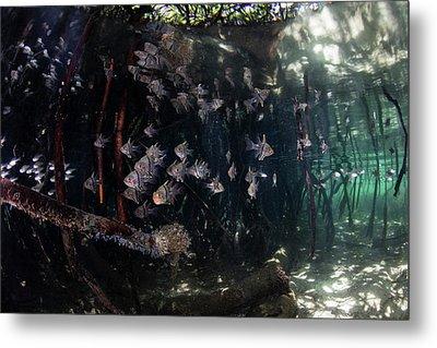 Orbiculate Cardinalfish Swiming Metal Print by Ethan Daniels