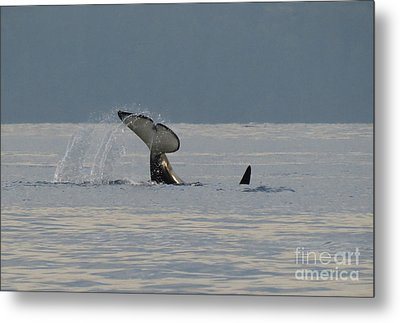 Orca At Sunset Metal Print by Gayle Swigart