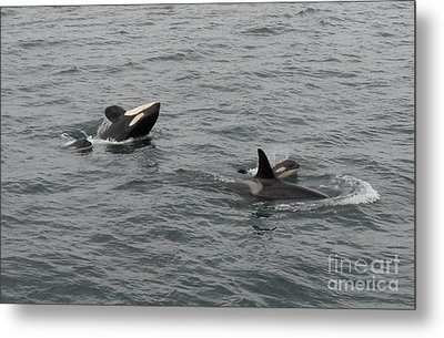 Orca Mamas In The Wild - Together Forever Metal Print by Gayle Swigart