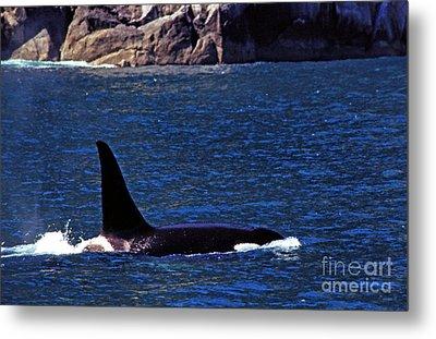 Orca Surfacing Metal Print by Thomas R Fletcher