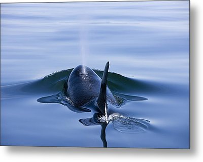 Orca Whale Surfaces In Lynn Canal Metal Print by John Hyde