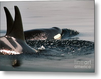 Metal Print featuring the photograph Orcas/killer Whales Off The San Juan Islands 1986 by California Views Mr Pat Hathaway Archives