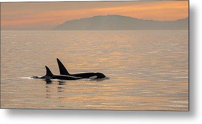 Orcas Off The California Coast Metal Print