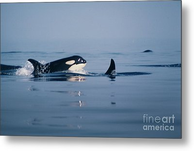 Metal Print featuring the photograph Orcas Off The San Juan Islands Washington  1986 by California Views Mr Pat Hathaway Archives