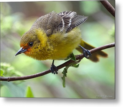 Orchard Oriole Female Metal Print by Bruce Morrison