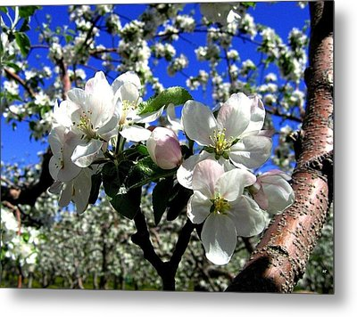 Orchard Ovation Metal Print by Will Borden