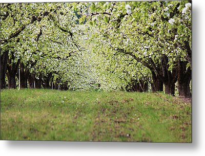 Metal Print featuring the photograph Orchard by Patricia Babbitt