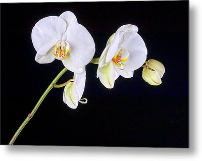 Orchid 2a Metal Print by Mauro Celotti