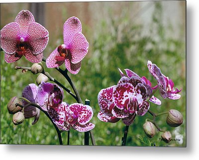 Orchid Field Metal Print by Paula Rountree Bischoff