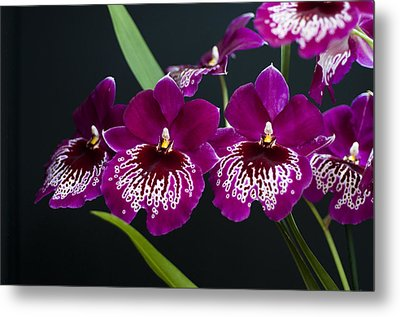 Metal Print featuring the photograph Orchid Miltonia by Lana Enderle