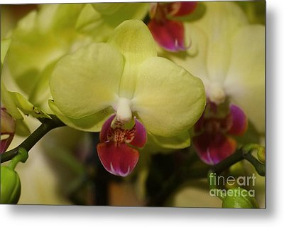 Orchids 181 Metal Print