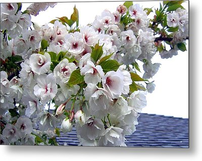 Oregon Cherry Blossoms Metal Print by Will Borden