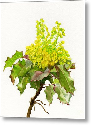 Oregon Grape White Background Metal Print by Sharon Freeman