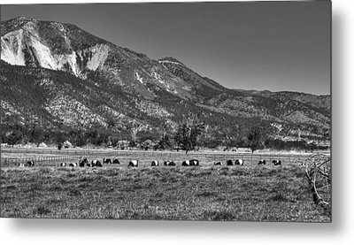 Oreo Cows 2 Metal Print by Donna Kennedy