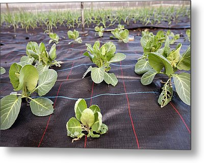 Organic Cabbage Crop Metal Print by Ashley Cooper