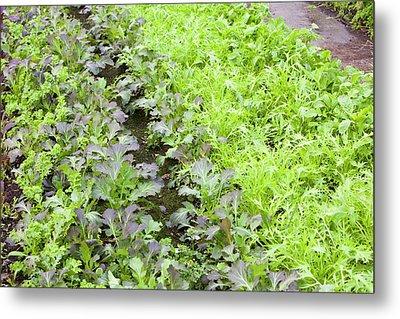 Organic Salad Crops Metal Print