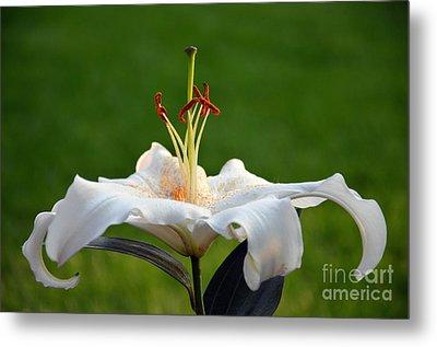 Oriental Hybrid Lily Metal Print
