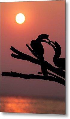 Oriental Pied Hornbills Metal Print by Paul Williams