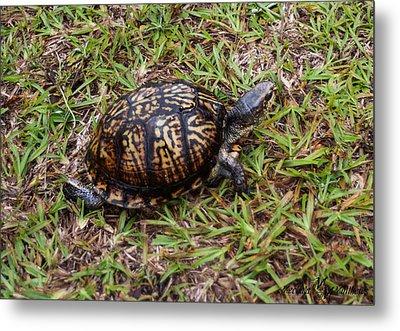 Box Turtle Metal Print by Mechala  Matthews