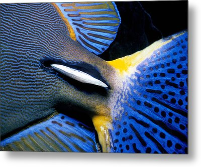 Ornate Surgeonfish Tail Metal Print by Jeff Rotman
