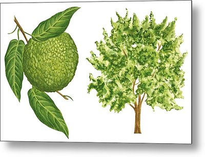 Osage Orange Tree Metal Print by Anonymous