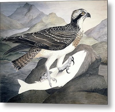 Osprey, 19th Century Metal Print by Science Photo Library