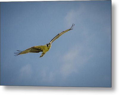Metal Print featuring the photograph Osprey by Bradley Clay