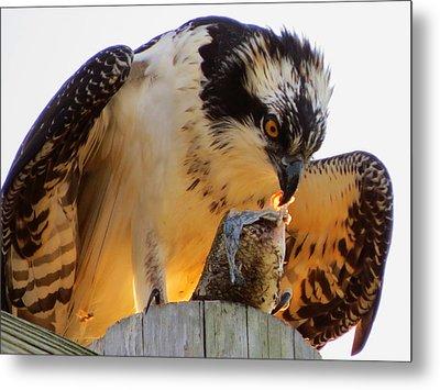 Osprey Breakfast Metal Print by Dianne Cowen