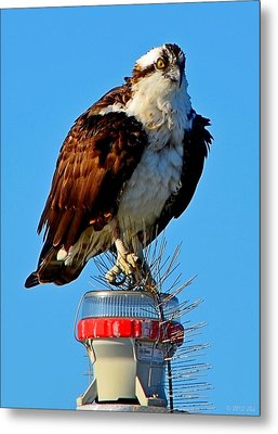 Metal Print featuring the photograph Osprey Close-up On Water Navigation Aid by Jeff at JSJ Photography