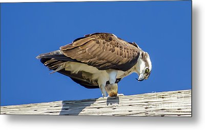 Metal Print featuring the photograph Osprey Eating Lunch by Dale Powell