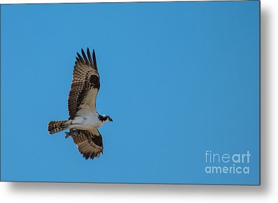 Osprey Flying Home With Dinner Metal Print