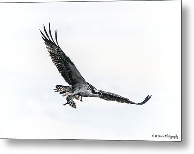 Osprey In Flight Metal Print by Barbara Bowen