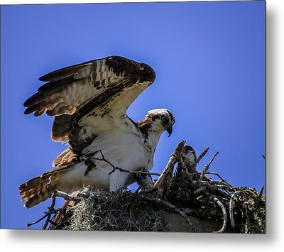 Osprey In The Nest Metal Print by Zina Stromberg