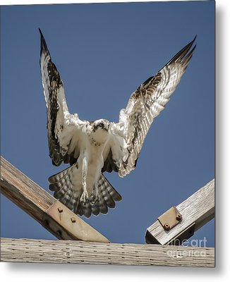 Metal Print featuring the photograph Osprey Landing by Dale Powell