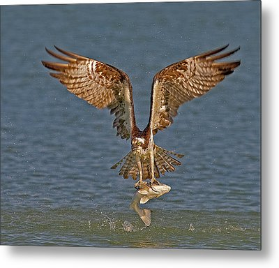 Osprey Morning Catch Metal Print by Susan Candelario