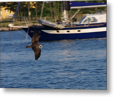 Metal Print featuring the photograph Osprey On The Hunt by Greg Graham