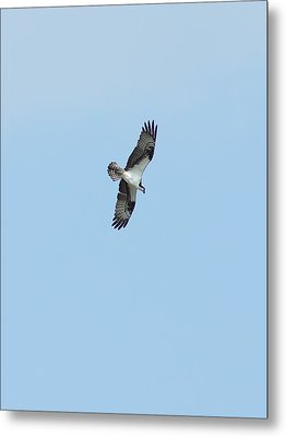 Metal Print featuring the photograph Osprey Overhead by Lynda Dawson-Youngclaus