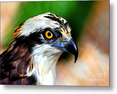 Osprey Portrait Metal Print by Dan Friend