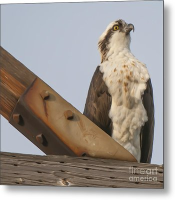 Metal Print featuring the photograph Osprey -seahawk by Dale Powell