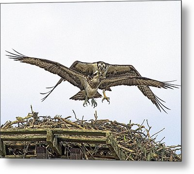 Osprey Wings And Talons Metal Print by Constantine Gregory