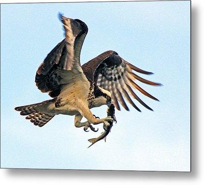 Osprey With Fish 1-6-15 Metal Print